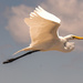Egret Flying Over to Get Handouts! by rickster549