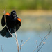 Red Wing Blackbird Sings by jyokota