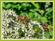 17th Jun 2020 - Hoverflies And Cow Parsley