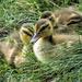 Hidden Ducklings by seattlite