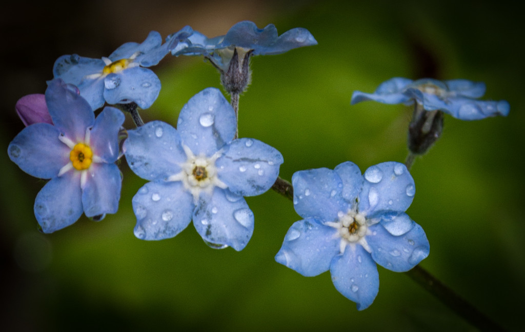 Forget Me Nots by 365karly1