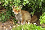 10th Jun 2020 - Fox under the ceanothus