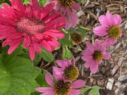 17th Jun 2020 - Gerbera and Echinacea