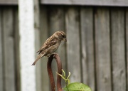 12th Jun 2020 - Sparrow perching