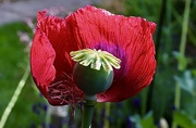 17th Jun 2020 - A Poppy with a View