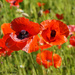 Poppies by falcon11