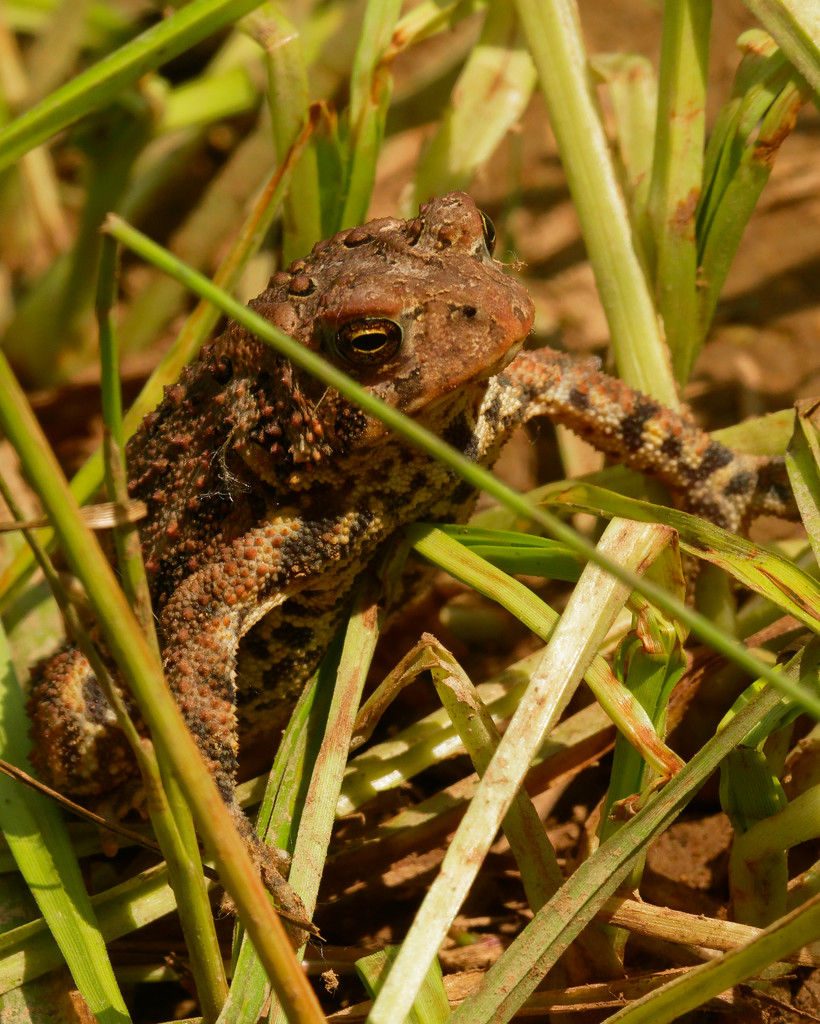 american toad  by rminer