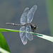 Dot-tailed Whiteface by annepann