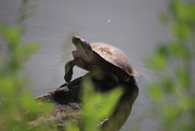 17th Jun 2020 - Turtle