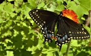 18th Jun 2020 - Black Swallowtail on an Indian paintbrush