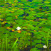 Lily Pads by sprphotos