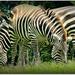 7 Legs 2 Zebra by moviegal1
