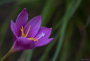 16th Jun 2020 - Rain Lily