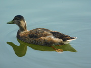 18th Jun 2020 - Raining too much to take my camera out today, so here is a duck from yesterday!