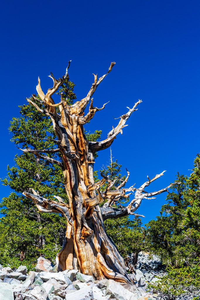 Great Basin Bristlecone Pine by photograndma