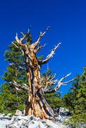 18th Jun 2020 - Great Basin Bristlecone Pine