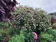 18th Jun 2020 - A very wet back garden