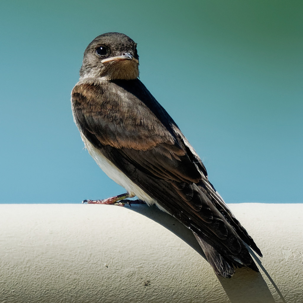northern rough-winged swallow by rminer
