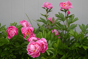 17th Jun 2020 - Second Round of Peonies...