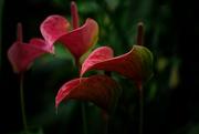 19th Jun 2020 - Peace lilies