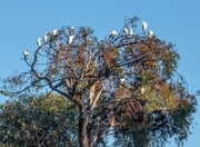 19th Jun 2020 - Egrets in the morning light