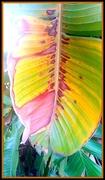 19th Jun 2020 - Leaf of the large white Streletzia plant