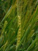 19th Jun 2020 - The barley is ripening