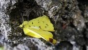15th Jun 2020 - Yellow Butterfly