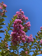 19th Jun 2020 - Crepe Myrtle
