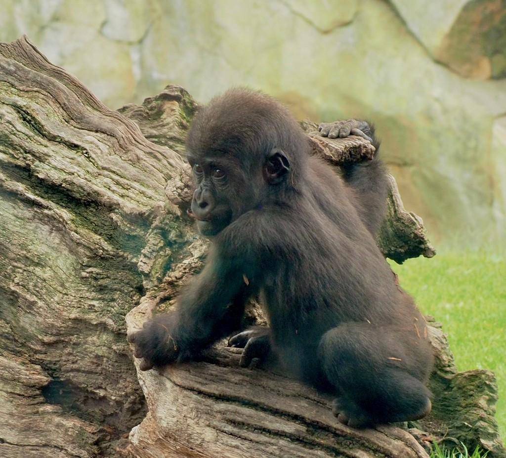 Baby gorilla by monicac
