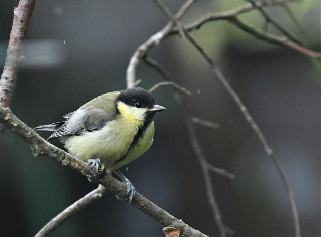 RK3_9176 Young great tit by rosiekind