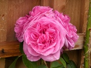 19th Jun 2020 -  How Many Roses?