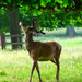 Wollaton Deer. by tonygig