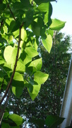 19th Jun 2020 - Lilac Leaves