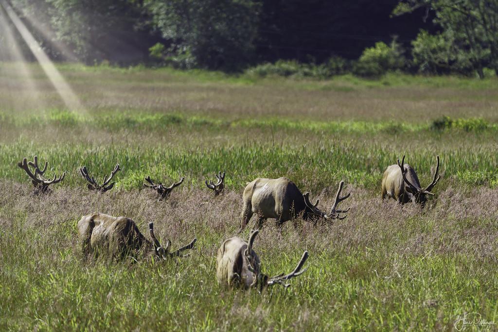 Elk Racks In the Grass  by jgpittenger