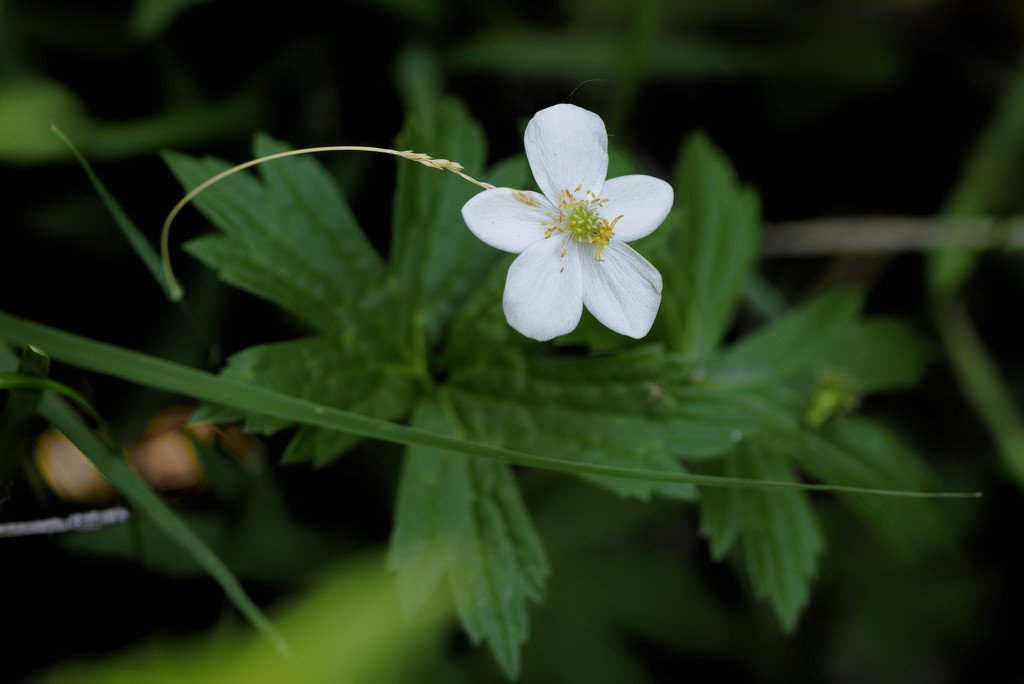 meadow anemone  by rminer