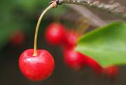 19th Jun 2020 - Cherries