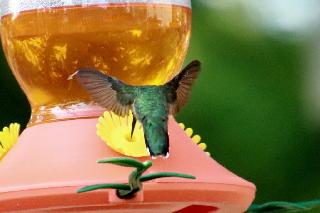 Hummingbird At The Feeder by randy23