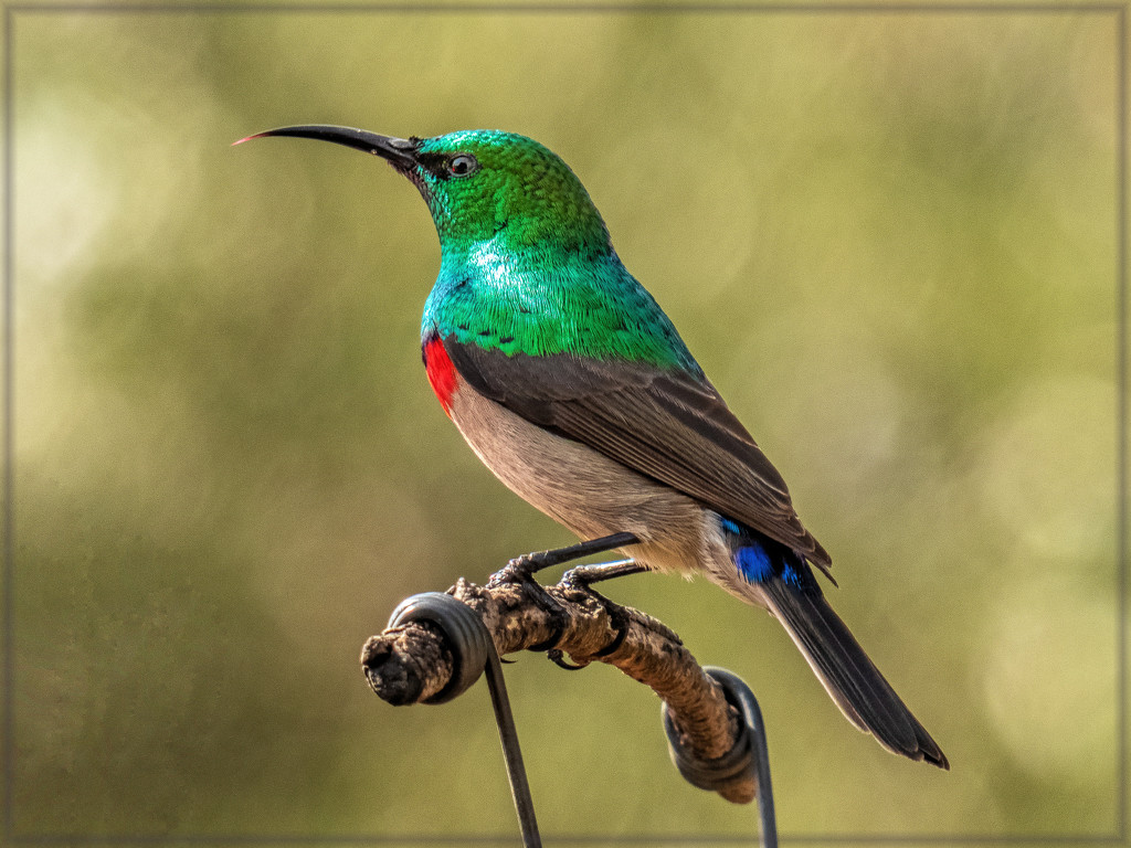 Double collared Sunbird by ludwigsdiana