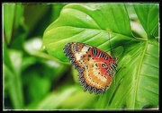 19th Jun 2020 - Butterfly Found