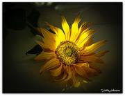 20th Jun 2020 - Sunflower Glow..