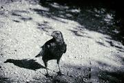 20th Jun 2020 - Crow