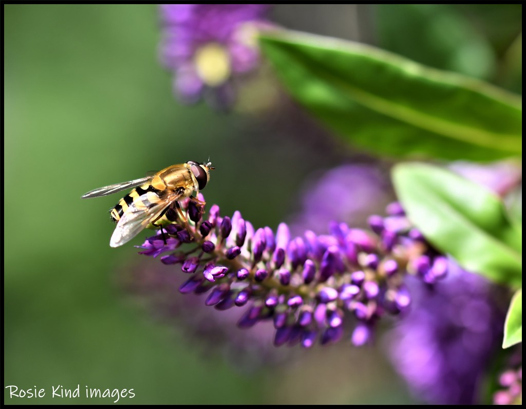 RK3_9204 Hebe with bee by rosiekind