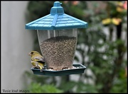 20th Jun 2020 - RK3_9244 Nice to see the greenfinch