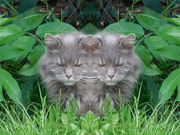 20th Jun 2020 - Double cat??? Spooky eh? No PhotoShop involved in the making of this!