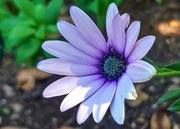 20th Jun 2020 - Lonesome daisy