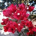 Bougainvillea Bracts