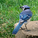 Blue Jay #5215