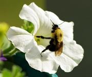 20th Jun 2020 - Bee and Petunia