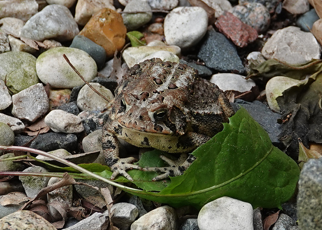 Our front yard toad by annepann